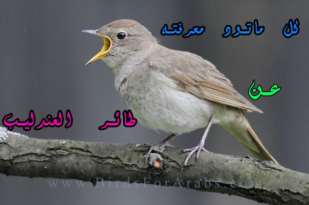 طائر العندليب