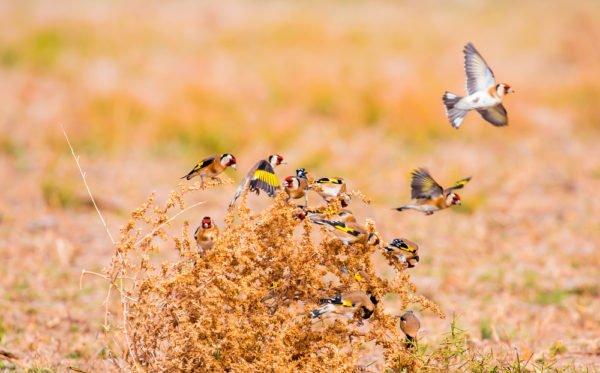تربية طائر الحسون