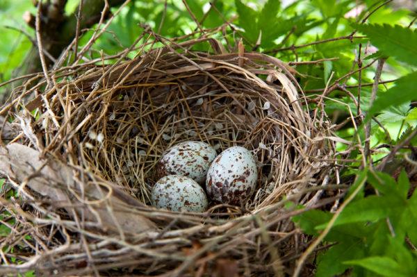 طائر الكاردينال عش بيض