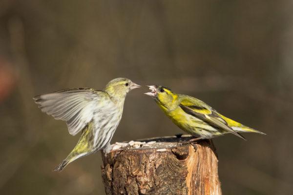 طائر الطرنجان الفرق بين الذكر والانتى