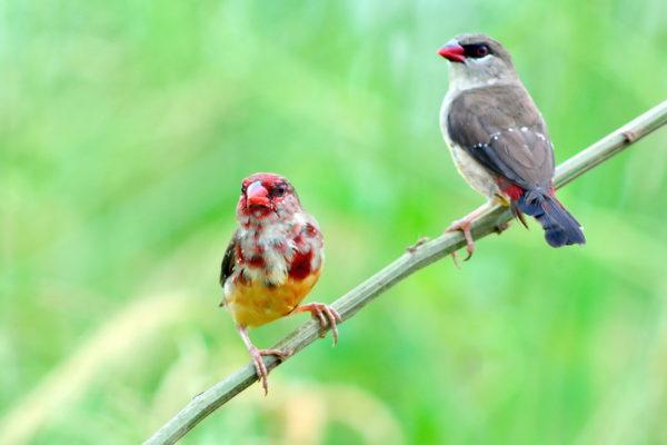 طائر الفراولة فينش موسم التكاثر