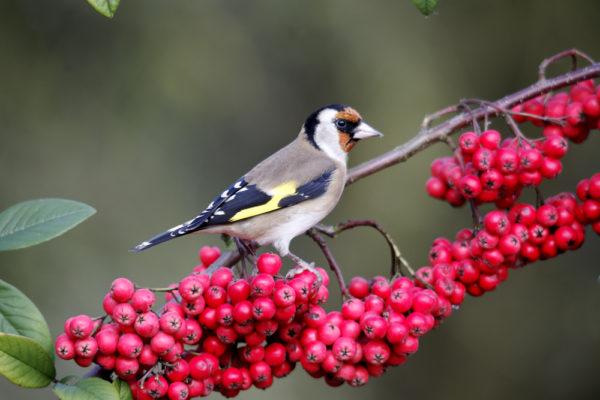 اشجار مفضلة للطيور البرية والحسون