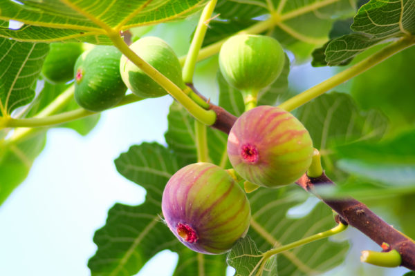 غداء الحسون نباتات اشواك