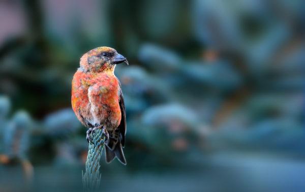 طائر الهزار