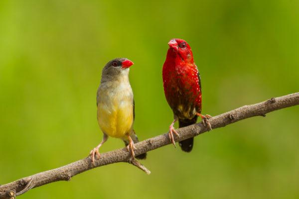 طائر الفراولة ذكر و انثى