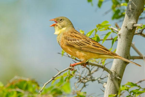 طائر البوح الزرهوني او الفاسي درسة الشعير بلبل الشعير