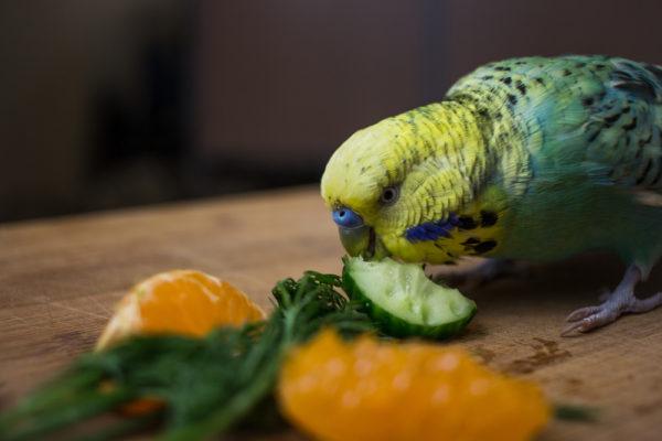 غداء البادجي النباتات ببغاوات البيروش
