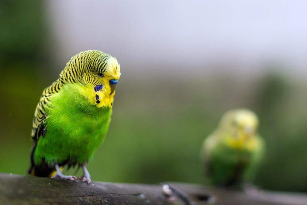 البادجي ببغاء الدرة الاسترالية او طائر البيروش