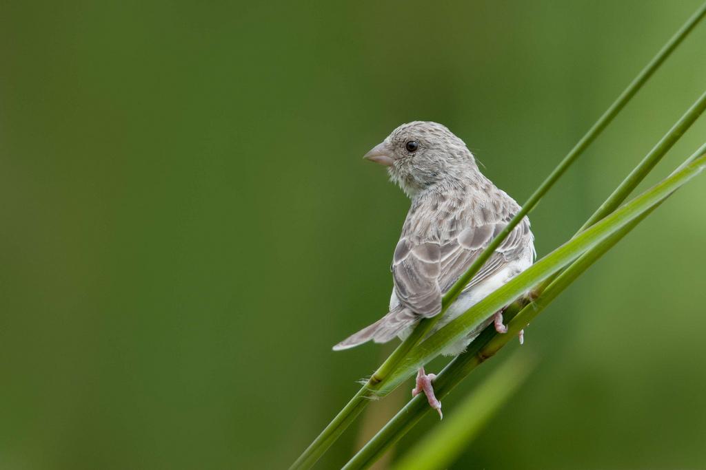 طائر المغني الافريقي او البسبوس المغرد