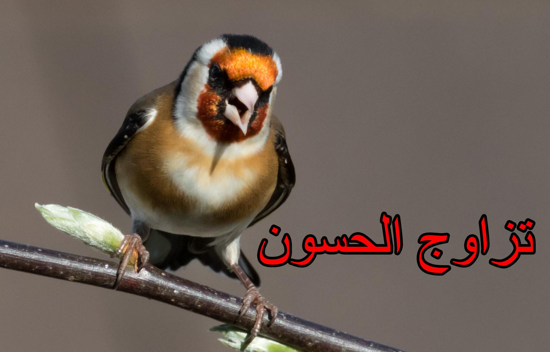 تجهيز طائر الحسون تزاوج الحسون