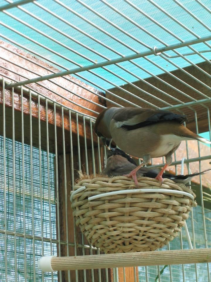 هجين البلبل الزيتوني او حسون الكرز مع طائر البول فينش