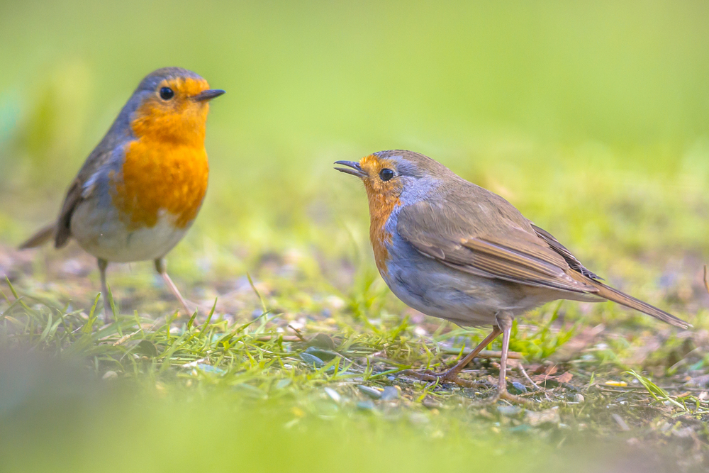 أبو الحِنّاء الأمريكي American Robin Male-and-female-red-robin-bird