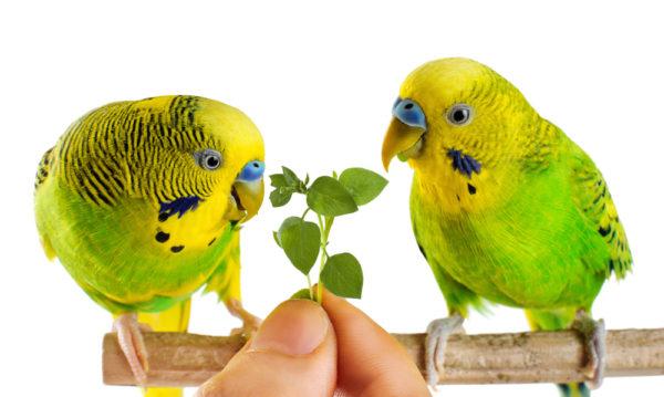 غداء البادجي النباتات و الخضر والفواكه