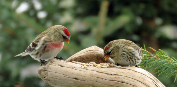 ذكر وانثى طائر الريد بول او الحسون الناري تفاحي
