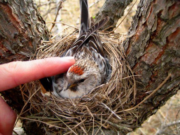 عش الحسون الناري طائر الريد بول او التفاحي الشائع