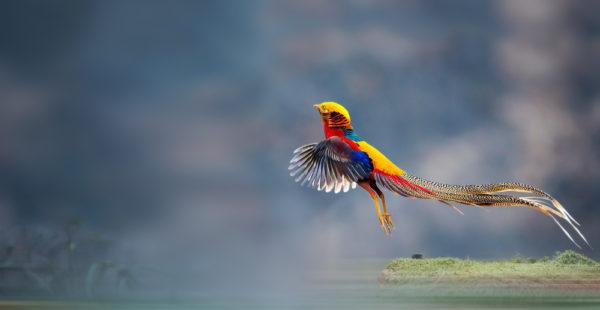 طائر الفزان الذهبي او الدراج