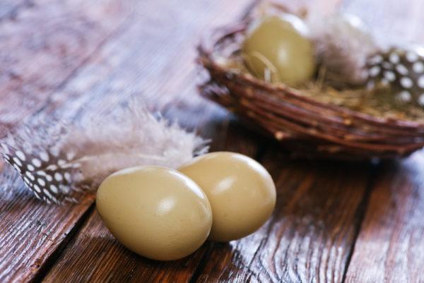 عش الدراج الذهبي او الفزن الذهبي دجاج