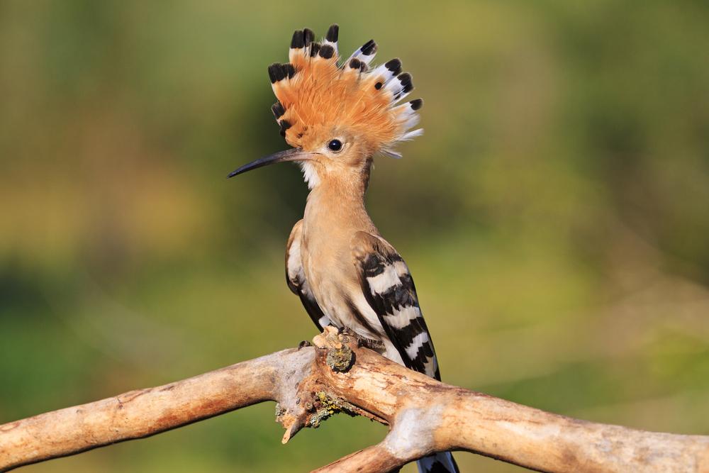 الهدهد او طير سيدنا سليمان كل ماتود معرفته عن هذا الطائر طيور العرب