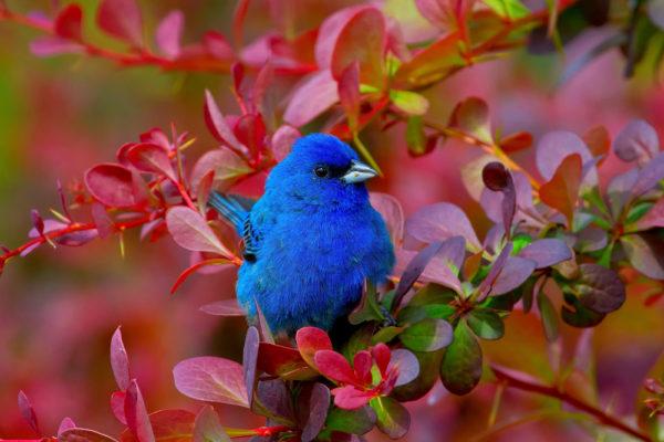 طائر الدرسة السماوي او عسفور الدرسة الزرقاء الطائر الازرق