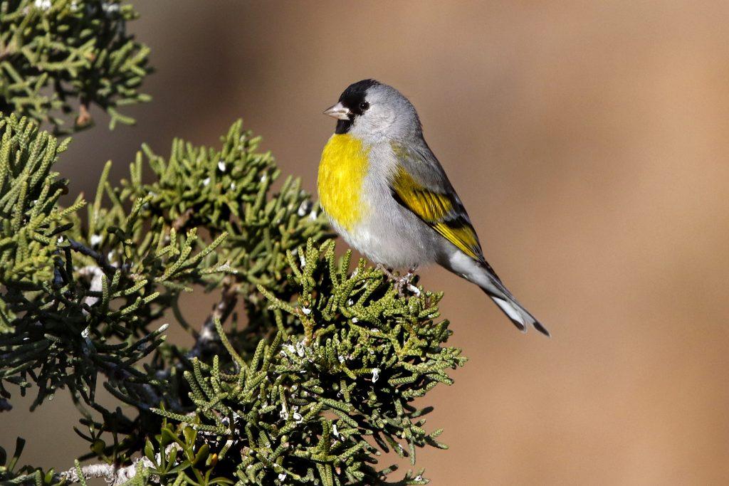 حسون لونس او الحسون الرمادي طائر الحسون الاصفر