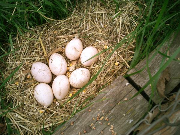 عش و بيض طائر الطاووس