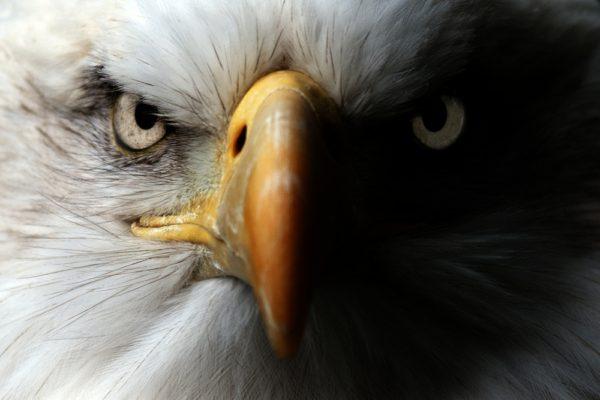 النسر الامريكي الاصلع او عقاب الرخماء