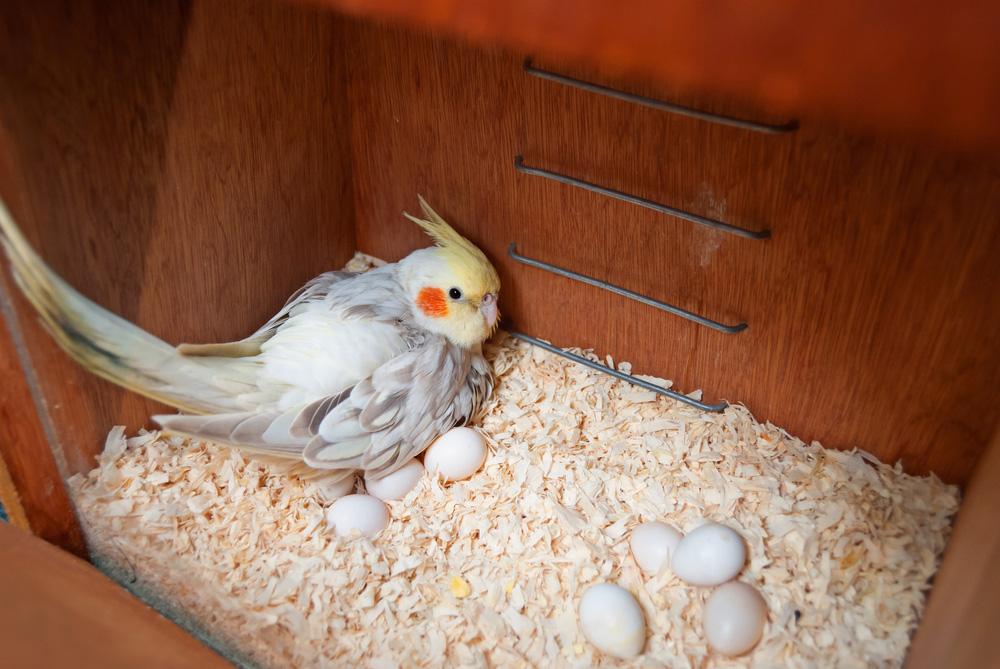 ببغاء الكوكاتيل او طائر الكروان كل ماتود معرفته حول هذا الببغاء طيور العرب