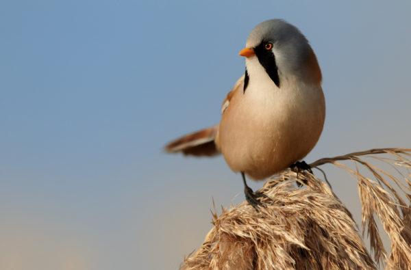 قرقف ابو ذقن طائر ريدلينج الملتحي
