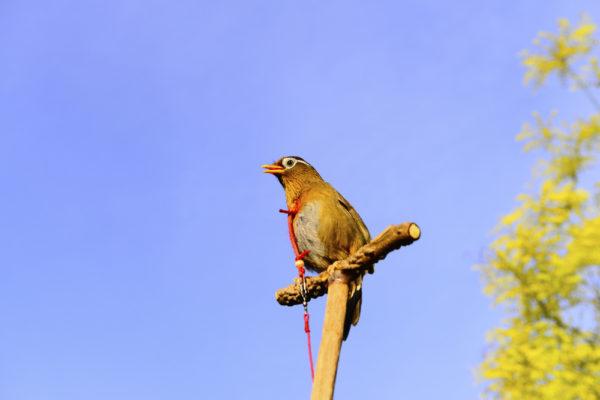 تربية طائر الخوامي