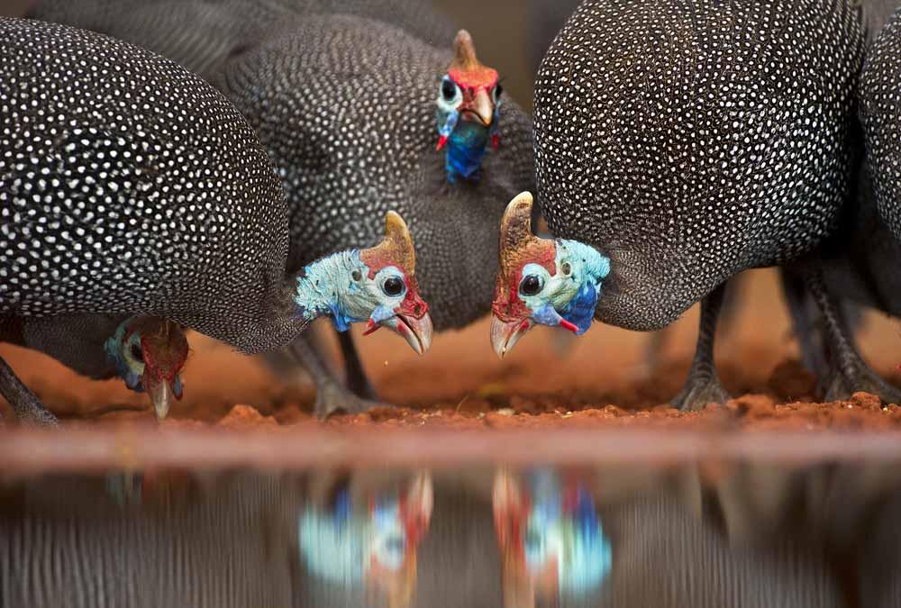 الدجاج الحبشي او الدجاج الفرعوني