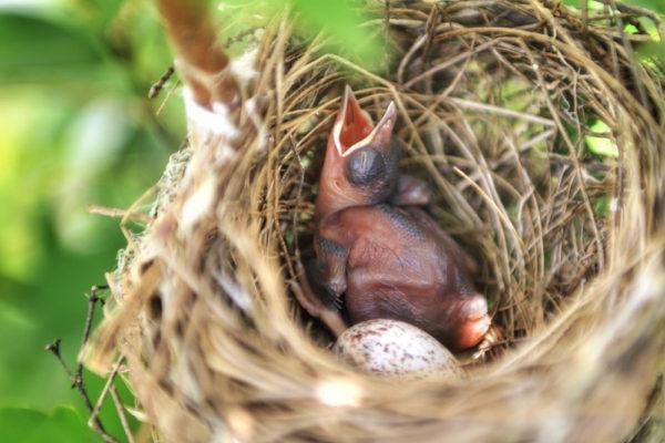 بيض البلبل احمر العجز طائر البلبل احمر الوجنتين