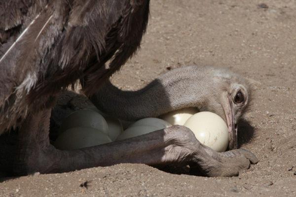 عش النعام به بيض