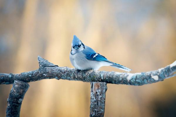 طائر القيق الازرق