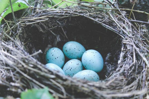 بيض طائر القيق الازرق