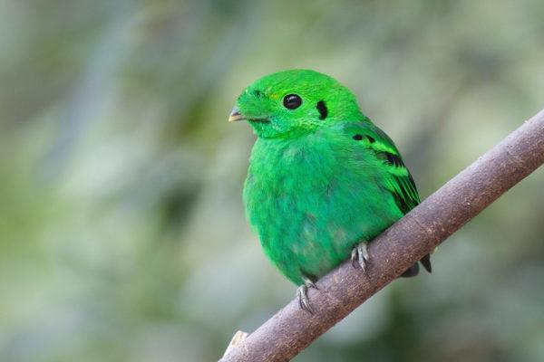 الطائر الأخضر عريض المنقار