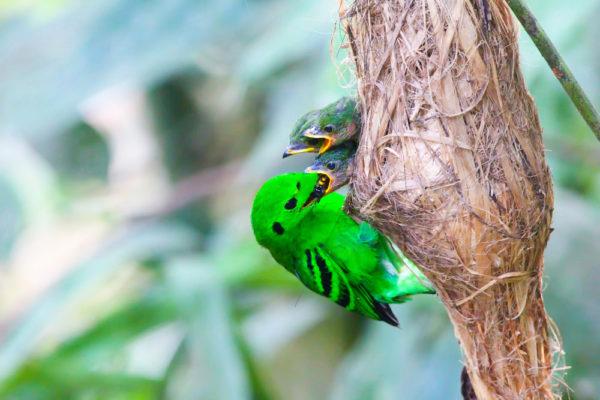 عش الطائر الأخضر عريض المنقار