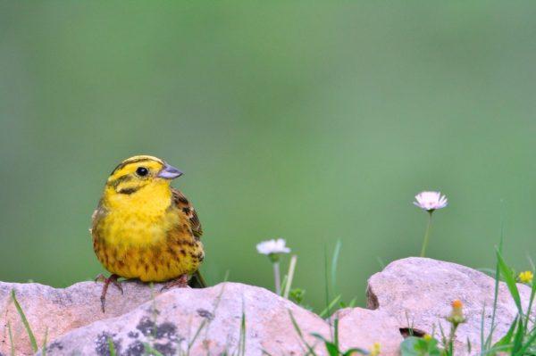 طائر الدرسة الصفراء
