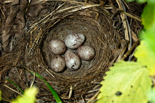 بيض طائر الدرسة الصفراء