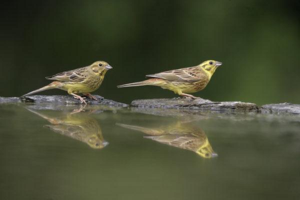 زوج طائر الدرسة الصفراء