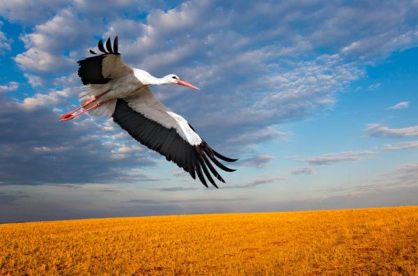 طائر اللقلق