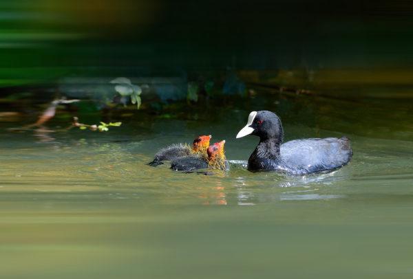 صغار طائر الغرة الاوراسية