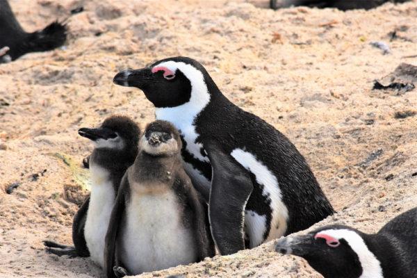 عش البطريق الحماري او طائر البطريق الافريقي