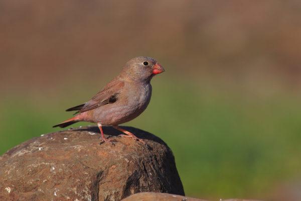 طائر الزمير الوردي