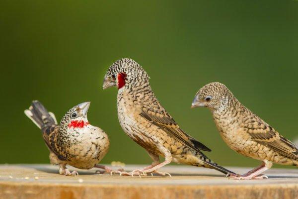 عصفور الزيبرا المدبوح او طائر الحلق المدبوح