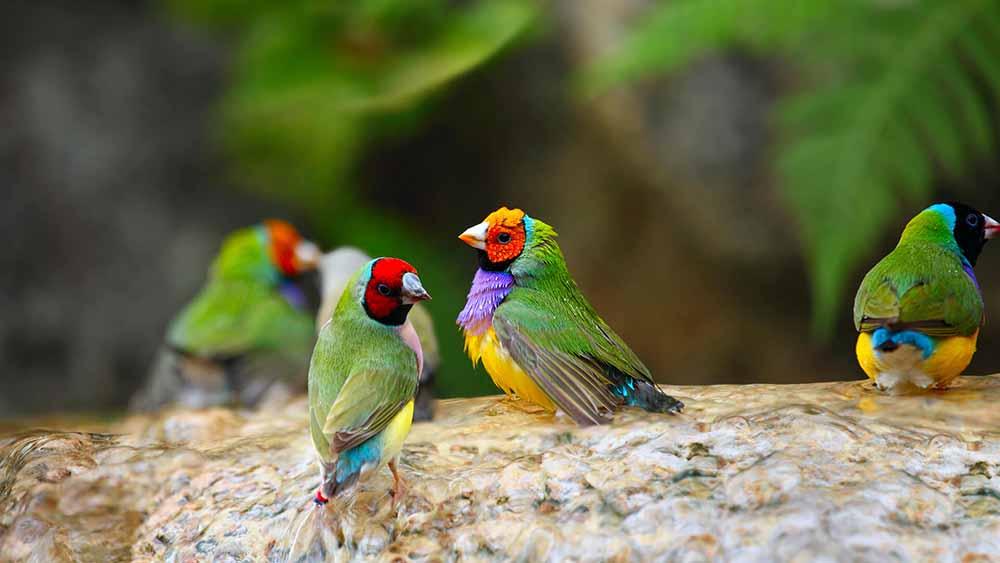 طائر الجولديان فينش
