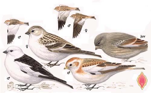 الفرق بين دكر و انثى طائر درسة الثلوج