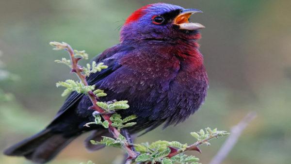 طائر الراية المبرقش