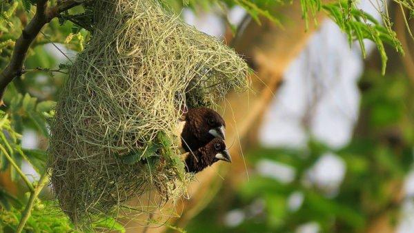 عش طائر المونيا ابيض الردف