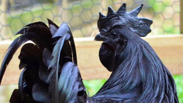 الدجاجة السوداء