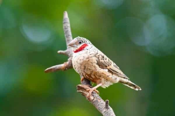طائر الزيبرا المدبوح
